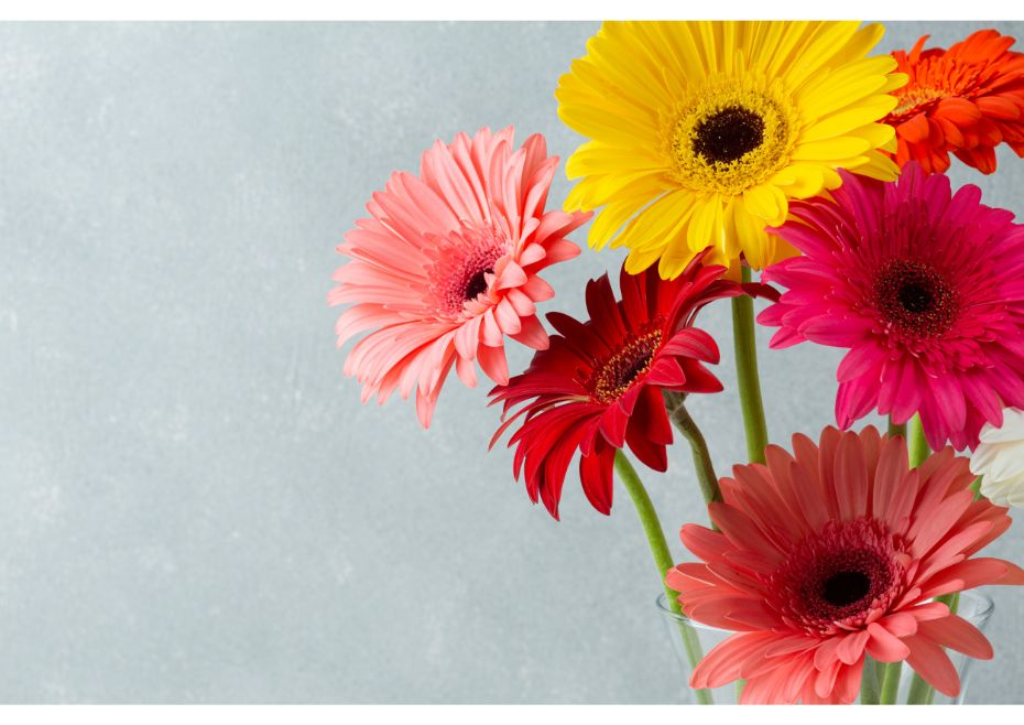 What Do The Different Colours Of Gerbera Daisies Mean